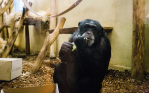 Šimpanzi-2