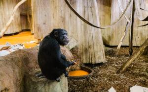 Šimpanzi z brněnské zoo se v zajetí už narodili. Foto: Dominika Lewczyszynová/Avokadointerview.cz